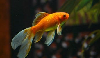 【号泣動画】泳げなくなった金魚が餌を食べられるように介護する金魚が話題に!!