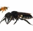 【インドネシア】世界最大のハチ、約40年ぶりに確認 人の親指大