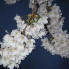 『桜の咲く頃』の画像