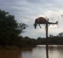 【画像】電信柱の上に引っ掛ったまま死んだ牛の死体が発見される