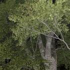 『天然林の夜』の画像
