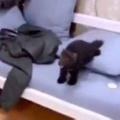 毛玉がソファの上にいた。目の前には飼い主がいる。こっちにおいで♪ → 何度もテンはこうなります…