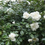 『つるバラ咲いて!』の画像