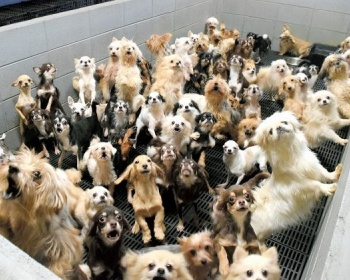 犬、猫約400匹をすし詰め状態で飼育、繁殖している施設の存在が判明 皮膚病で狭いケージに隔離された犬、白内障の犬、前足が切断状態で妊娠させられた犬も 福井・坂井市(画像あり)