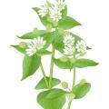 ハコベ/謎多き春の花