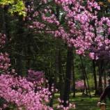 『仁和寺の御室桜 続き』の画像