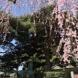 黒磯神社の桜2019