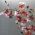 『オンシジウム、春の植え替え後の様子』の画像