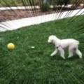 うちのイヌが「ボール」で遊んでいた。それはアメフトの練習ですか? → 犬はこうなる…