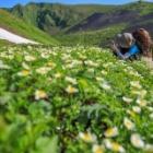 『チングルマ咲き誇るムーミン谷へ✨秋田駒ヶ岳 1.637M』の画像