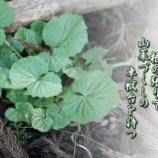 『葉山葵の静けき里に根の張りて山菜づくしの卓袱台を待つ』の画像