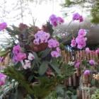 『チェンライ⑧花の楽園 ドーイトゥン』の画像