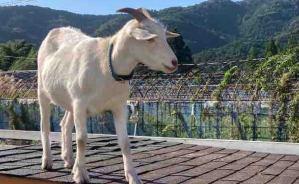 屋根の上に集合するヤギたち