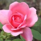 『咲いた咲いた私のバラ&8月の庭の様子』の画像