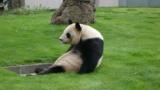もうすぐ中国に帰るパンダだけど質問ある?