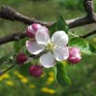 『リンゴの花』の画像