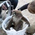 【画像】生き残ったコアラさん、仲間の死骸の前で胸に顔をうずめて泣く。オーストラリア森林火災