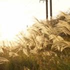 『【写真日記#2】2017年茨城の秋 彩雲・紅葉・ススキ・野鳥 | 【Photo Diary#2】Fall 2017 Iridescent Clouds, Fall Foliage, Birds & Plume Grass in Ibaraki』の画像