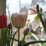 『チューリップ開花』の画像
