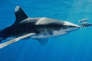 サメの中でもっとも最も危険なサメはレアモンスターの・・・