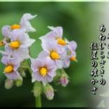 『芋の花』の画像