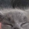 子ネコを指でマッサージしてみた。へそ天でふにゃ~♪ → 毛玉の顔はこうなります…