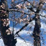 『戸田市新曽南の菖蒲川沿いの桜は三分咲き。これから市内各所の桜の名所が楽しみです。』の画像