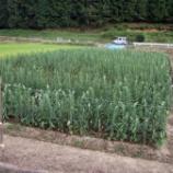 『山田製油さんとの交流会のご報告その3 胡麻畑での作業は朝飯前?』の画像