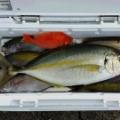 12月4日の釣果・シマアジ&五目釣り‼