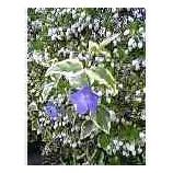 『白い小さなスズランと紫ききょう』の画像