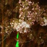 『わが家の桜10 5.5』の画像