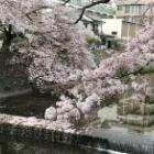 『桜色舞うころ 〜巡り巡って、またいつか。』の画像