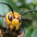 スズメバチは「黒だけ攻撃する」は誤解。プロに聞く正しい対策