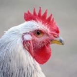 『養鶏所のニワトリの一生がムゴすぎる』の画像