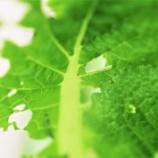 『緑砦館NOW(8)虫食い菜』の画像