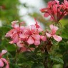 『ゼラニウム年間の手入れと大きな花を咲かせるためのコツ』の画像