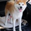 東京モーターショー2019 その18(秋田犬保存会)
