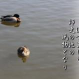 『真鴨の番い』の画像