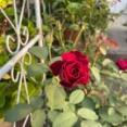 *秋に咲く赤いバラ~元気が出るぞ~