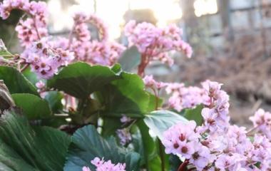 『ヒマラヤユキノシタ挿木でステキな緑の空間を作ろう【年間の手入れと挿し木の仕方】』の画像