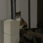オードリー若林みたいな猫、見つかる
