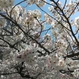 『【早稲田】ひさかたの光のどけき春の日に』の画像