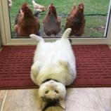 『鶏に愛されるにゃんこ』の画像