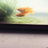 『ベランダ メダカ 楊貴妃の受精』の画像