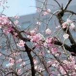 『ぎゃぁぁあああ‼ 間違えて桜の写真を消してしまいました』の画像