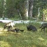 『加州で100年近くぶりに目撃されたオオカミとオオカミの再導入』の画像