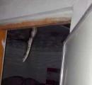 寝室の天井から突然2mのニシキヘビがコンニチハ!