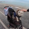 最強のシカゴガイド登場?ベビーカーで散歩する猫についついていきたくなってしまう