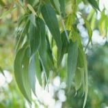 『汗をかく樹木』の画像