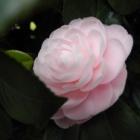 『春の木と書いてツバキ』の画像
